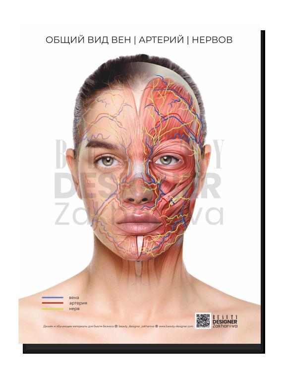 """Плакат """"Общий вид вен, артерий и нервов на лице"""""""