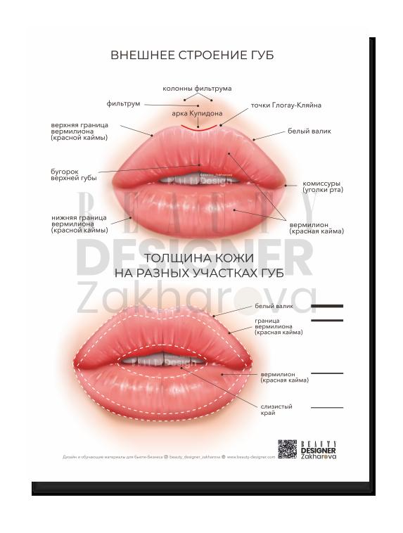 """Плакат """"Внешнее строение и толщина кожи губ"""""""